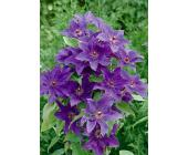 Clematis »The President« (2 Stck.)