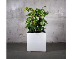Florafilt Luftreiniger und Luftbefeuchter Efeutute