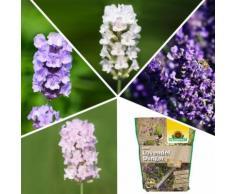 Staudensortiment Lavendel Kollektion + Dünger