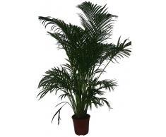 Zimmerpflanzen versand gr npflanzen zimmerpflanzen kaufen for Versand zimmerpflanzen