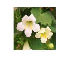 bcm beet & balkonpflanze »trompetenwinde weiß«, höhe: 70 cm