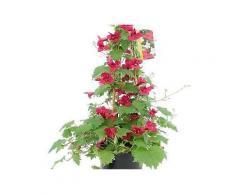 bcm beet & balkonpflanze »trompetenwinde rot«, höhe: 70 cm