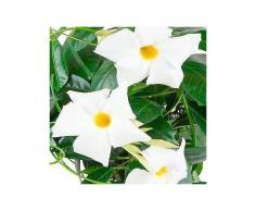 bcm beet & balkonpflanze »diamantina jade white«, höhe: 45 cm