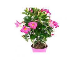 bcm beet & balkonpflanze »diamantina fuchsia flame«, höhe: 45 cm