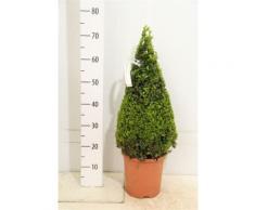 2 Buchsbaum-Kegel / Pyramide, Höhe: 70-80 cm, Buxus sempervirens + Dünger