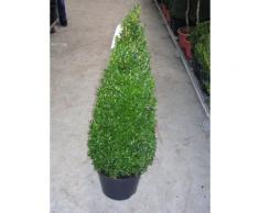 2 Buchsbaum-Kegel / Pyramide, Höhe: 80-90 cm, Buxus sempervirens + Dünger