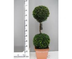 Buchsbaum 2er-Kugel, Höhe: 100 cm, Bonsai, Doppelkugel, Buxus +Dünger