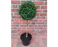 Buchsbaum Stamm, Höhe:100-110 cm, Stämmchen, Buxus sempervirens + Dünger