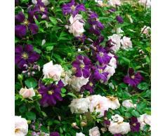 rose rosenpflanze rosenstock rosen pflanzen online shop. Black Bedroom Furniture Sets. Home Design Ideas