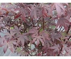 Acer palmatum Atropurpureum - Roter Fächerahorn Preis nach Größe 80-100 cm