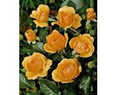 rose g nstige rosen bei livingo kaufen. Black Bedroom Furniture Sets. Home Design Ideas