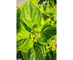 Bauernhortensie Lanarth White 30-40 cm Strauch für Hell-Halbschatten Heckenpflanze weiß-rosa blühend Terrassenpflanze winterhart 1 Pflanze im Topf
