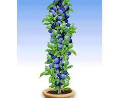 BALDUR-Garten Säulen-Pflaumen Black Amber, 1 Pflanze, Prunus domestica Säulenobst winterhart Zwergobstbaum