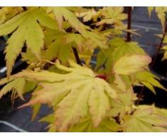 Fächerahorn Orange Dream - Acer palmatum Orange Dream - Japanischer Ahorn