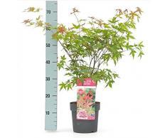 Ahorn palmatum Beni-maiko - roter asiatischer Fächerahorn - verschiedene Größen (50-60cm - 3Ltr.)