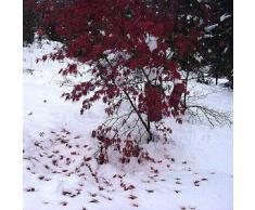 Acer palmatum atropurpureum - Roter Fächerahorn - Blutfächerahorn - 10 Samen