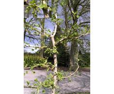 Baumschule Anding Fächerblattbaum Ginkgo biloba - Lakeview -