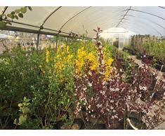 Rhododendron-Hybride Berliner Liebe 25-30 cm Strauch für Sonne-Schatten Zierstrauch rot-rosa blühend Terrassenpflanze winterhart 1 Pflanze im Topf
