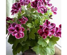 Keland Garten - Duftend Selten 50 Stück Geranie Pelargonium Blumensamen mehrjährig winterhart, beliebteste Balkonpflanze für Beete, Rabatten, Kübel und viele Gefäße