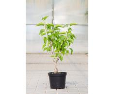 Edelflieder Mme Lemoine 40-60 cm Strauch für Sonne-Halbschatten Zierstrauch weiß blühend Terrassenpflanze winterhart 1 Pflanze im Topf