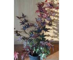 roter japanischer Fächerahorn Acer palmatum Atropurpureum 60 cm hoch im 3 Liter Pflanzcontainer