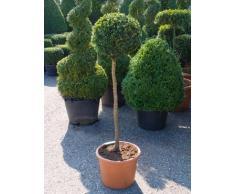 Buchsbaum, ca. 110 cm, Balkonpflanze groß-Sichtschutz, Terrassenpflanze sonnig-halbschattig-schattig, Kübelpflanze Südbalkon-Westbalkon-Ostbalkon-Nordbalkon, Buxus sempervirens, im Topf