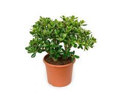 Geldbaum, ca. 55 cm, Balkonpflanze wenig Wasser, Terrassenpflanze sonnig, Kübelpflanze Südbalkon, Crassula sunset, im Topf