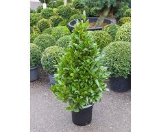 Echter Lorbeer, ca. 120 cm, Balkonpflanze hoch-Sichtschutz, Terrassenpflanze viel Sonne, Kübelpflanze Südbalkon, Laurus nobilis, im Topf