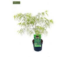 Roter Fächerahorn - palmatum Koto-no-ito -hellgrün - Gesamthöe 40-60cm - 3 Ltr Topf