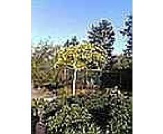 Ginkgo biloba Umbrella - Fächerblattbaum Umbrella - Fossil - Ginko Heilpflanze - Arzneipflanze