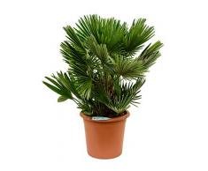Zwerg-Palme, ca. 95 cm, Balkonpflanze exotisch, Terrassenpflanze halbschattig, Kübelpflanze Westbalkon-Ostbalkon, Chamaerops humilis compacta, im Topf