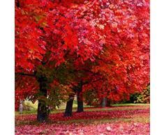 SummerRio Garten-5 Pcs Selten Ahorn Baum Samen Fächerahorn Samen Topfpflanzen Same Pflanze Samen Winterhart Hausgarten