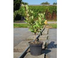 Perückenstrauch Young Lady 30-40 cm Strauch für Sonne-Halbschatten Heckenpflanze weiß-rosa blühend Terrassenpflanze winterhart 1 Pflanze im Topf