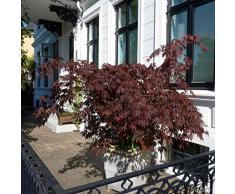 Qulista Samenhaus - Rarität Roter Fächerahorn Atropurpureum   Ziersträucher Blutahorn Baum Saatgut Blumensamen winterhart mehrjährig
