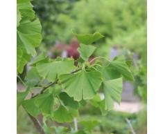 Ginkgo, Ginkgobaum, Mädchenhaarbaum, Fächerblattbaum (100 cm) - Im 5lt. Topf, Höhe 80-100cm