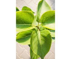 Edelflieder Katharine Havemeyer 60-100 cm Busch für Sonne-Halbschatten Heckenpflanze lila-purpur-rosa blühend Terrassenpflanze winterhart 1 Pflanze im Topf