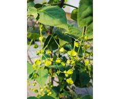 Großfrüchtiges Pfaffenhütchen 125-150 cm Busch für Sonne-Halbschatten Zierstrauch rote Früchte Terrassenpflanze winterhart 1 Pflanze im Topf