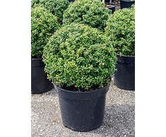 Stechpalme, ca. 50 cm, Balkonpflanze pflegeleicht, Terrassenpflanze halbschattig-schattig, Kübelpflanze Westbalkon-Ostbalkon, Ilex crenata convexa, im Topf