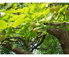 Ginkgobaum Ginkgo biloba Pflanze 45-50cm Baum des Jahrtausends Fächerblattbaum