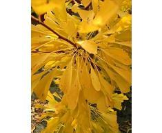 Ginkgo biloba Saratoga - Fächerblattbaum Saratoga - Maidenhair Tree - Baum des Jahrtausends - botanische Urpflanze - Ginko - Heilpflanze