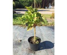 Bauernhortensie Bela 40-60 cm Solitär für Sonne-Halbschatten Heckenpflanze blau blühend Terrassenpflanze winterhart 1 Pflanze im Topf