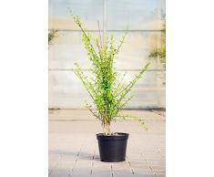 Echter Winter-Jasmin 60-80 cm Solitär für Sonne-Halbschatten Zierstrauch gelb blühend Terrassenpflanze winterhart 1 Pflanze im Topf