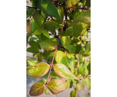 Perlmuttstrauch 60-100 cm Busch für Sonne-Halbschatten Zierstrauch rosa-rot-weiß blühend Balkonpflanze winterhart 1 Pflanze im Topf