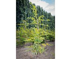 Hainbuche 100-125 cm Busch für Sonne-Halbschatten Zierstrauch grünes Laub Terrassenpflanze Sichtschutz 1 Pflanze mit Ballen