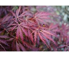 Ahorn palmatum Garnet- roter japanischer Fächerahorn - der meistverkaufte Ahorn WELTWEIT verschiedene Größen (50-60cm - 3ltr.)