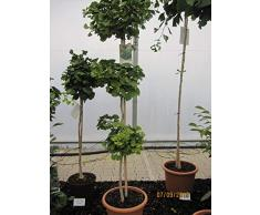 Ginkgo biloba Mariken Pagode - Fächerblattbaum Mariken Pagode