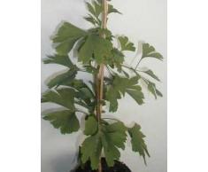 Fächerblattbaum Ginkgo biloba 100 - 125 cm hoch im 5 Liter Pflanzcontainer