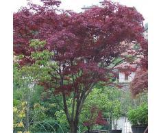 Acer palmatum atropurpureum - Roter Fächerahorn - Bonsai - 20 Samen