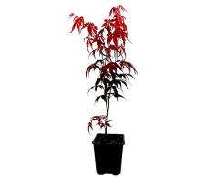 Seedeo® Roter Fächerahorn (Acer palmatum atropurpureum) ca. 30 cm hoch