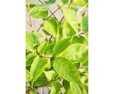 Tausendblütenstrauch 30-40 cm Strauch für Sonne Zierstrauch weiß-gelb blühend Terrassenpflanze winterhart 1 Pflanze im Topf